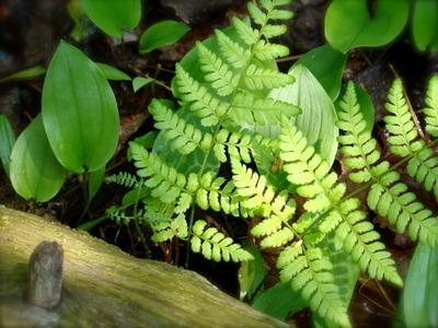 Fernswood